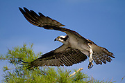 A female Osprey in-flight showing off her beautiful 5 foot wing span. Blue Cypress Lake, Florida.<br /> Blue Cypress Lake is home to over 240 pair of Osprey, the largest concentration of Osprey anywhere, according to biologists at Fish and Wildlife Services.