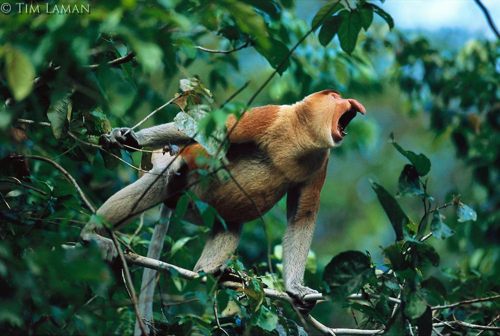 A male proboscis monkey  (Nasalis larvatus) verbally threatens a potential rival..Menanggul River, Lower Kinabatangan Wildlife Sanctuary, Borneo Island.