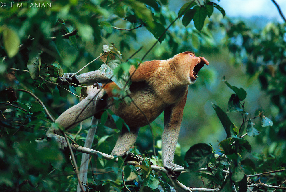 A male proboscis monkey  (Nasalis larvatus) verbally threatens a potential rival..Menanggul River, Lower Kinabatangan Wildlife Sanctuary, Borneo Island.