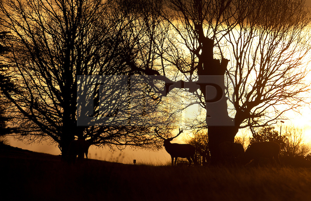 © Licensed to London News Pictures. 21/12/2014. Deer at Richmond park, west London, at sunrise. Today, 21st December, also known as Winter Solstice, is the shortest day in the year. Photo credit : Isabel Infantes / LNP