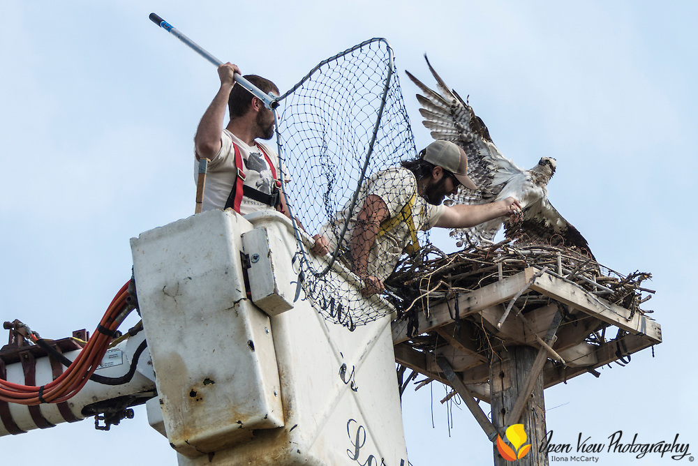 Tyler Veto, of Raptor View Research Institute,  handles the tangled female Osprey after Adam Shreading of Raptor View Research Institute, has netted the bird on the cone noose trap. Salmon, Idaho.
