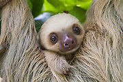 Hoffmann's Two-toed Sloth <br /> Choloepus hoffmanni<br /> Two-month-old baby<br /> Aviarios Sloth Sanctuary, Costa Rica<br /> *Rescued and released by Sloth Sanctuary