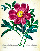 19th-century hand painted Engraving illustration of a Paeonia officinalis, the common peony, or garden peony, is a species of flowering plant in the family Paeoniaceae, native to France, Switzerland and Italy. By Pierre-Joseph Redoute. Published in Choix Des Plus Belles Fleurs, Paris (1827). by Redouté, Pierre Joseph, 1759-1840.; Chapuis, Jean Baptiste.; Ernest Panckoucke.; Langois, Dr.; Bessin, R.; Victor, fl. ca. 1820-1850.