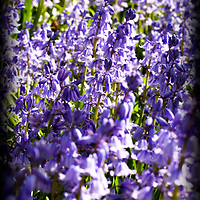 Bluebells, purple, flowers, vibrant, cheery