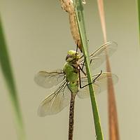 Anax Junius, dragonfly, slightly immature, south Texas