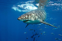 Great White Shark Profile