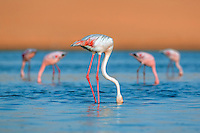 Flamingos, Dorob National Park, Namibia.