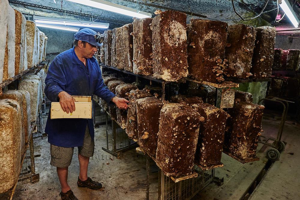 France, Indre-et-Loire (37), Loches, Philippe GILARD, producteurs des champignons Shiitake et pleurotes dans des caves troglodytiques à Loches // France, Indre-et-Loire (37), Loches, troglodyte cellar for
