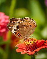 Buckeye Butterfly. Image taken with a Nikon 1 V3 camera and 70-300 mm VR lens