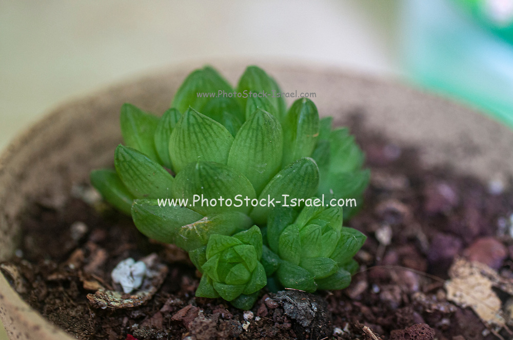 """Haworthia cuspidata (Star window Plant) is a rosette forming succulent, with star-like rosettes, up to 4 inches (10 cm) across. The leaves are lime green to greenish-grey, wedge-shaped, pointed at the tip, with darker green glassy """"windowed"""" translucent areas near tips."""