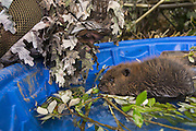 North American Beaver<br /> Castor canadensis<br /> Wildlife Rehabilitator, Jessie Lazaris with one-month-old orphaned kit<br /> Sarvey Wildlife Care Center,  Arlington, Washington<br /> *Model release available