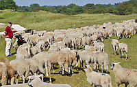 ZANDVOORT - De Kennemer Golf & Countryclub heeft in de strijd tegen de prunussen de hulp ingeroepen van een grote kudde schapen.De 350 Schoonderbeek schapen grazen op vooraf bepaalde stukken langs de fairway. Herder Henry Hoyting zorgt er met zijn honden voor dat de schapen niet over de fairway of greens lopen. De Kennemer wil op deze manier op een natuurvriendelijke manier de vergrassing en de prunussen terugdringen.   COPYRIGHT KOEN SUYK Copyright Koen Suyk