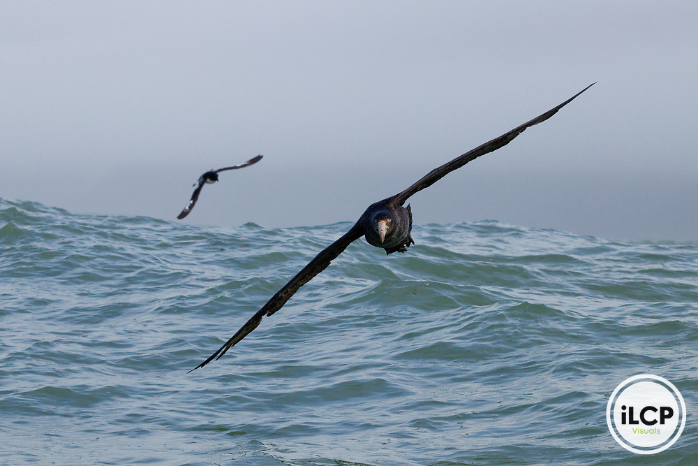 Northern Giant Petrel (Macronectes halli) and Cape Petrel (Daption capense) gliding over ocean, Kaikoura, South Island, New Zealand