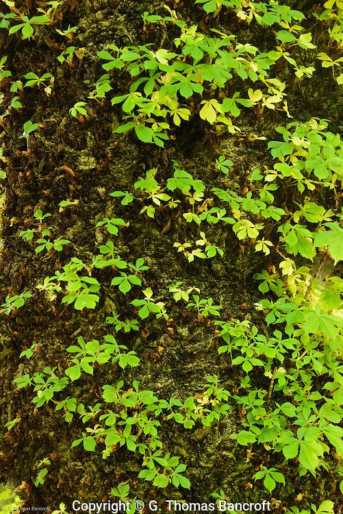 Big-leaf maple trunk.