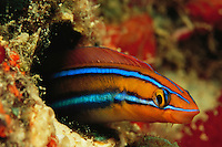 A bluestriped fangblenny peering from a hole in a reef wall.