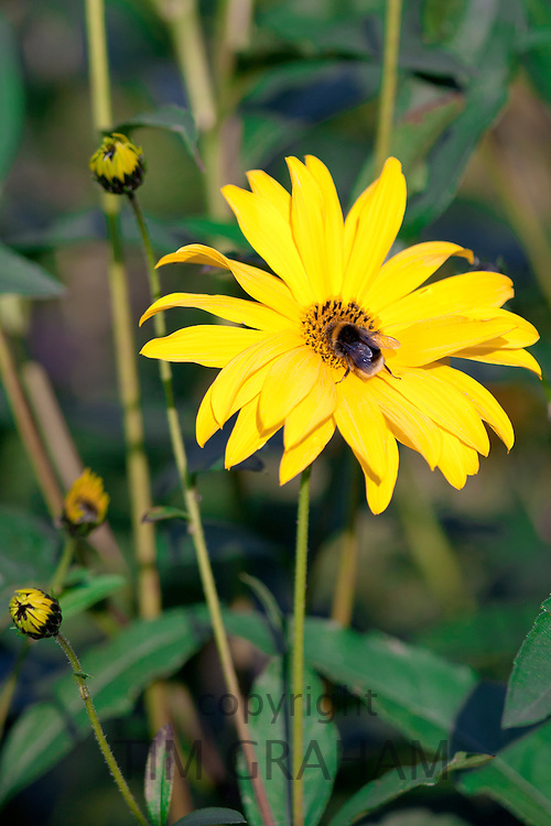 Rudbeckia flower, Asteraceae, also known as Coneflower, and garden bumble bee gathering nectar in The Cotswolds, Oxfordshire, UK