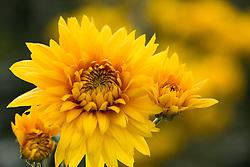 Chrysanthemum 'Gold Shoesmith'