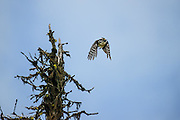 The Hairy Woodpecker took off to fly over me, screaming loudly that I was near her nest.