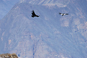 Colca Canyon - Tuesday, Dec 17 2002: A pair of Andean Condors (Vultur gryphus) soar over the Colca Canyon, Peru. The male is on the right. (Photo by Peter Horrell / http://www.peterhorrell.com)