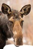 A moose greets the camera while browsing for food in Jackson Hole, Wyoming.