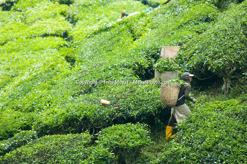 Boht Teh, Cameron Highlands, Malaysia, October 2010.  The Cameron Highlands bring relief to the overheated traveller. The cool hillstations are an ideal place for the Tea Plantations.  Photo by Frits Meyst/Adventure4ever.com