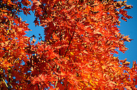 Scarlet maple leaves backlit against a blue autumn sky.