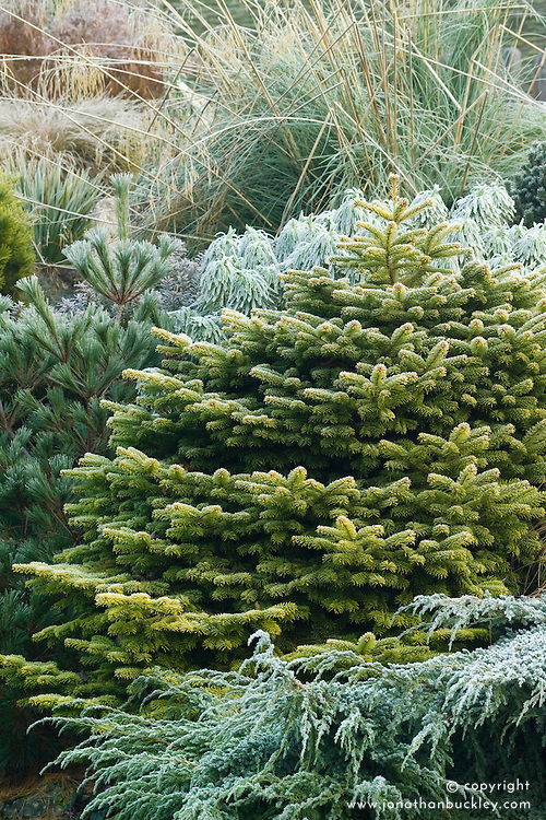 Abies nordmanniana 'Golden Spreader' in winter - Nordmann fir, Caucasian fir
