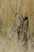 Hide, Hidden, Camouflage, Mule Deer, Buck, Deer, Male Deer, Salmon, Idaho