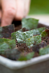 Taking leaf cuttings from a begonia using the leaf square method<br /> Planting cuttings into compost