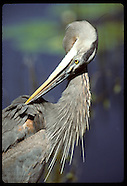 05: EVERGLADES GREAT BLUE HERON
