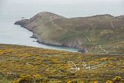 Two hikers walk amongst the gorse in St. David's Head, Pembrokeshire, Wales, U.K..