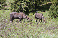 A moose cow and yearling calf (Alces alces shirasi) browsing on willow leaves.  Rocky Mountain National Park, Colorado, USA