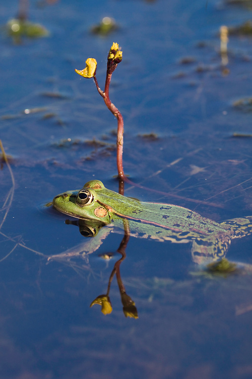 Aquatic Frog in pond, Rana esculenta, and Utricularia vulgaris, Latorica backwater, Slovakia, Europe<br /> Rana esculenta, Nymphaea alba, Wasserfrosch in Teich, Rana esculenta, Latorica Altwasser, Slowakei, Europa