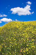 Fields of mustard near Lake Casitas, Oak View, California