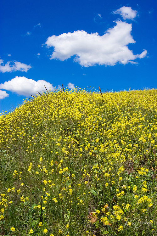 Fields of mustard near Lake Casitas, Oak View, California