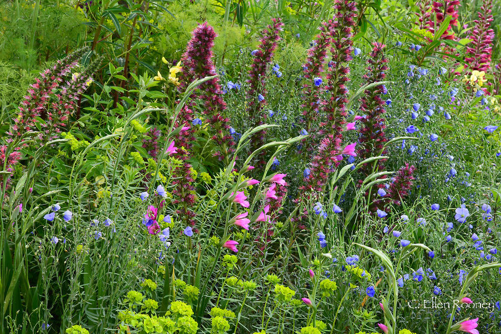 Echium russicum, Gladiolus communis subsp byzantinus and Euphorbia palustris in the Resilience Garden designed by Sarah Eberle at the RHS Chelsea Flower Show 2019.