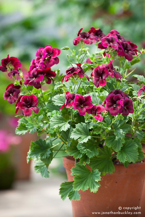 Pelargonium 'Regalia Chocolate' in a terracotta pot