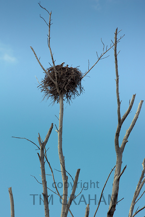 Osprey, Pandion haliaetus, known as sea hawk or fish eagle, with chick in nest, Everglades, Florida, USA