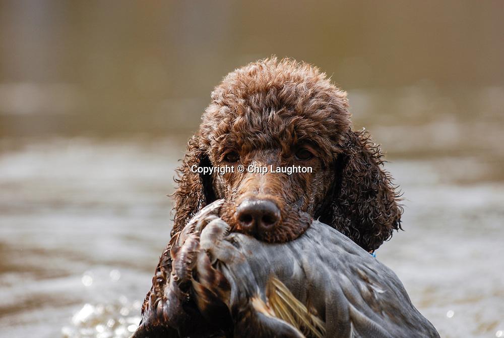 pheasant hunting stock photo image