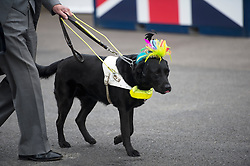 A guide dog arriving wearing a hat at Royal Ascot 2013,<br /> Ascot, United Kingdom,<br /> Thursday, 20th June 2013<br /> Picture by i-Images