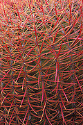 Detail of Barrel Cactus (Ferocactus cylindraceus) in the Cottonwood Mountains, Joshua Tree National Park, California