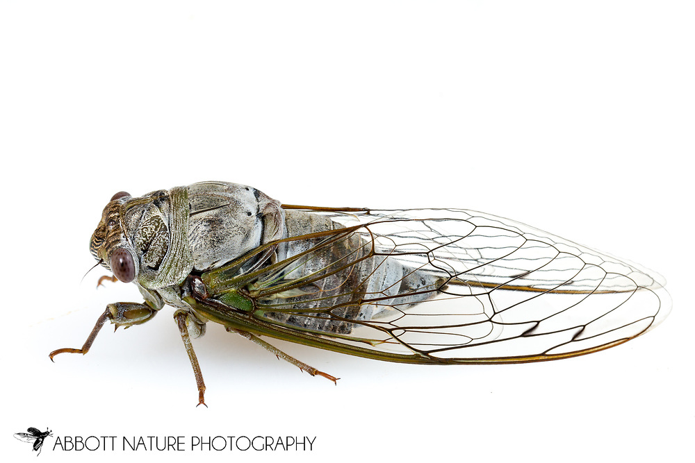 Northern Dusk Singing Cicada (Megatibicen auletes)<br /> United States: Alabama: Tuscaloosa Co.<br /> Tulip Tree Springs off Echola Rd.; Elrod<br /> 33.33480, -87.79355<br /> 28-Jun-2016<br /> J.C. Abbott #2840 &amp; K.K. Abbott