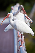 American White Ibis (Eudocimus albus) at the Key West Botanical Garden on Stock Island, Key West, Florida.