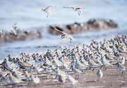 Semipalmated Sandpiper flock during Spring migration on the Delaware Bay.  Ted Harvey Wildlife Area, Delaware