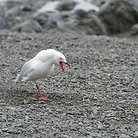 A New Zealand Gull on the shores of Kaikoura, New Zealand.
