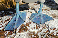 Blue-footed booby, Sula nebouxii excisa feet on North Seymour Island in the Galapagos Islands National Park and Marine Reserve, Ecuador.