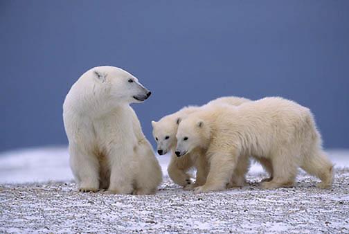 Polar Bear, (Ursus maritimus)  Mother and cubs. Cape Churchill, Manitoba. Canada.