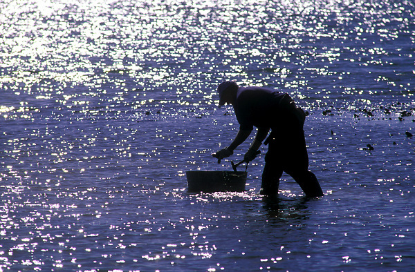Stock photo of a man wading in the bay to collect oysters