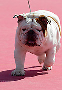 English Bulldog at a dog show