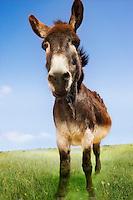 Donkey in green field